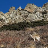 Himalayan Blue Sheep — ストック写真
