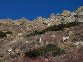 Rebanho de ovelha azul — Fotografia Stock