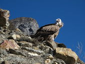 Sitting White-Rumped Vulture — Stock Photo