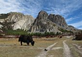 Grazing yak and limestone formation — Stock Photo
