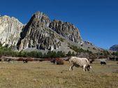Grazing yaks near Manang, Nepal — Stock Photo