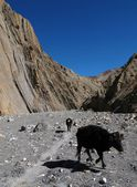 Cows walking in a dry riverbed — Stock Photo
