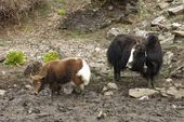Yak mother with baby — Stock Photo