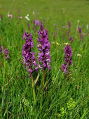 Alpine Dactylorhiza — Stock Photo