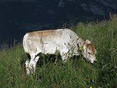 Grazing calf — Stock Photo