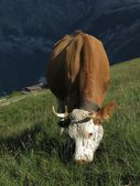 Grazing Swiss cow — Stock Photo