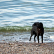 Black dog in water — Stock Photo #28863831