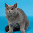 Blue british female cat on light blue background — Stock Photo