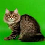 Siberian kitten black tiger on light green background — Stock Photo #28866391