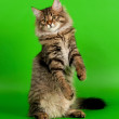 Siberian kitten black tiger on light green background — Stock Photo