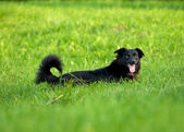 Black dog on grass — Zdjęcie stockowe