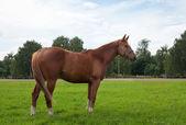 Pferd, feld und himmel — Stockfoto