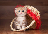 Small golden british kitten on table with wooden texture in bask — Stok fotoğraf
