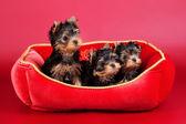 üç yorkie yavru içinde şarap kırmızı zemin üzerine kırmızı soba tezgahı — Stok fotoğraf