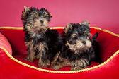 Twee terriërpuppy's in rode kachel bank op wijn rode achtergrond — Stockfoto