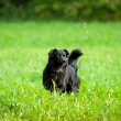 Stock Photo: Black dog on grass