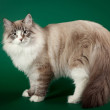 Seal tabby point with white siberian cat on dark green backgroun — Stock Photo