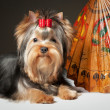 yorkie puppy with umbrella on grey gradient background — Stock Photo