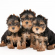 Three yorkie puppies on white background — Stock Photo