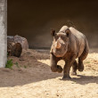 Black rhinoceros in open-air cage — Stock Photo