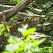 Amur leopard in open-air cage — Stock Photo
