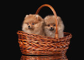 Two Pomeranian puppies on black background — Foto Stock