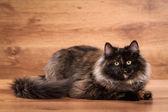 Gattino siberiano tartaruga — Foto Stock