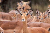 Impala on the lookout — Stock Photo