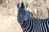 Burchell's Zebra — Stock Photo