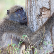 Tree hugging baboon — Stock Photo