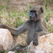 Stock Photo: Smiling Baboon