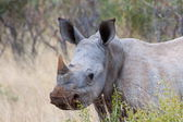 Young White Rhino — Stockfoto