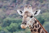 Giraffe Portait — Stock Photo