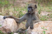 Smiling Baboon — Stock Photo