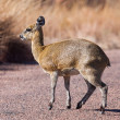 Klipspringer — Stock Photo