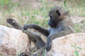 Relaxing Baboon — Stock Photo