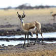 Springbok at waterhole — Stock Photo