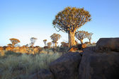 Rocks and Quiver Trees at the Quiver Tree Forest — Stock fotografie