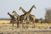 Giraffe family at the water — Stock Photo