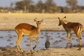 Impalas at Nxai Pan NP — Stock Photo