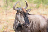 Blou wildebeest in Pilanesberg — Stock Photo