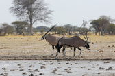 Oryx's at the waterhole in Nxai Pan NP — Stock Photo