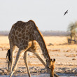 Giraffe drinking water at Nxai Pan NP — Stock Photo