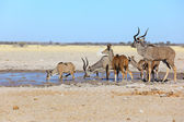 Kudu's in muddy waterhole — ストック写真