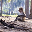 Macaque monkey — Stockfoto #28558903
