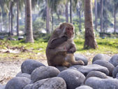 Displeasure monkey — Foto de Stock