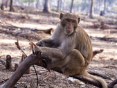 Monkey sitting on the log and watching — Stockfoto
