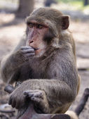 Concerned sitting monkey — Stock Photo