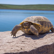 Resting tortoise — Stock Photo