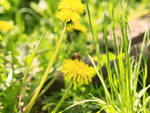 Bee on the flower dandelion — Stock Photo
